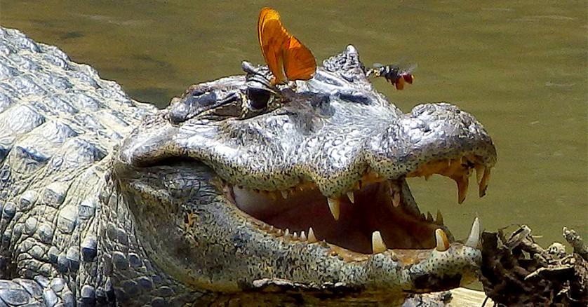 crocodilo_borboleta_abelha