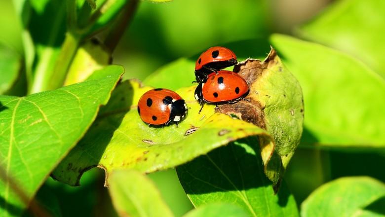 ladybird-326692_1920