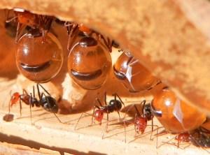 Formigas-pote-de-mel