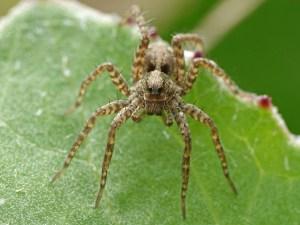 wolf-spider-pardosa-LG9C35J-web