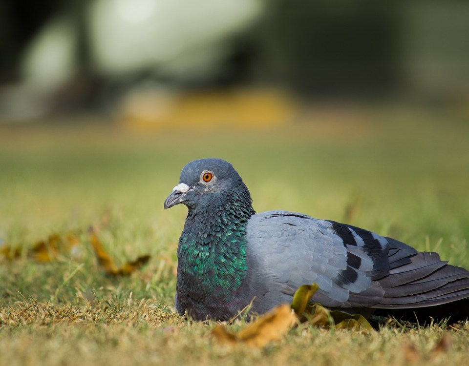 Pigeon Bird Animal Nature Wildlife