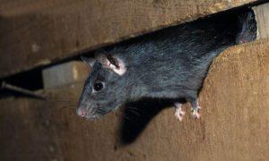 Como Acabar com Ratos no Forro do Telhado?