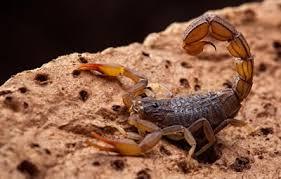 Dedetização - Existe dedetização contra escorpiões?