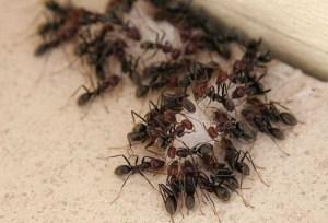 Dedetização de Formigas – Como Acabar Com Estas Pragas