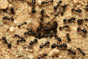 Dicas Faceis e Caseiras Para Afastar As Formigas De Casa