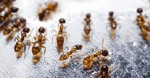 Dedetização de Formigas – Como acabar com formigas doceiras