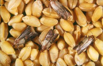 pragas em grãos