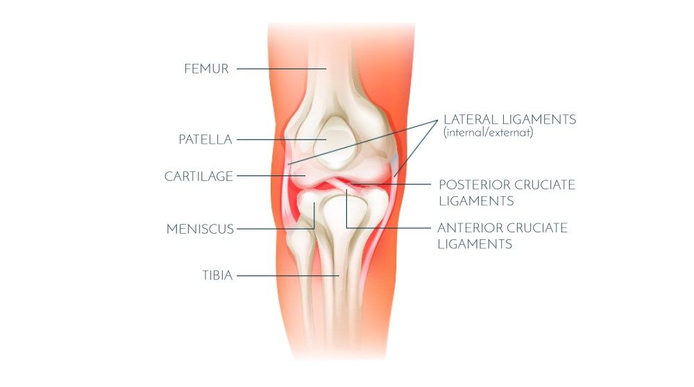 medium resolution of the anterior cruciate ligament acl is located in the middle of the knee forming part of the central pivot located within the notches of the femur