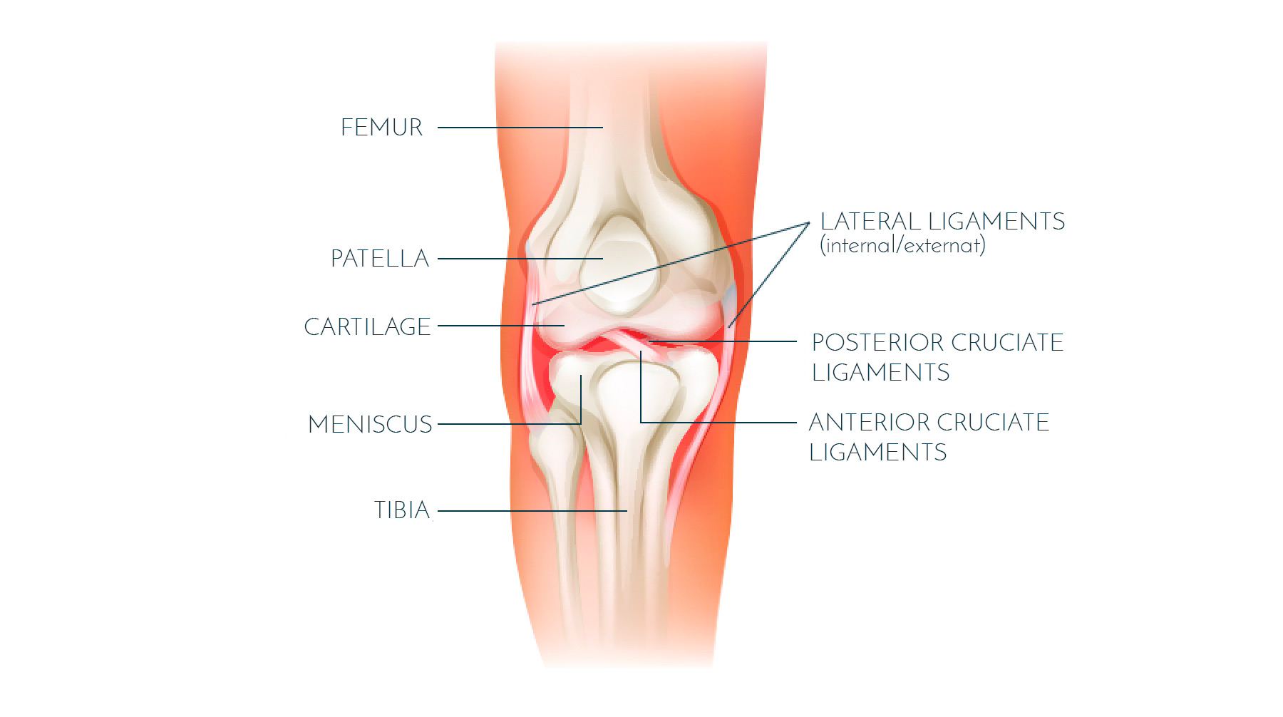 hight resolution of the anterior cruciate ligament acl is located in the middle of the knee forming part of the central pivot located within the notches of the femur