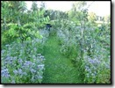 Phacelia als groenbemester maar ook bijenlokker