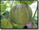 Meloen 'Petit Gris de Rennes'