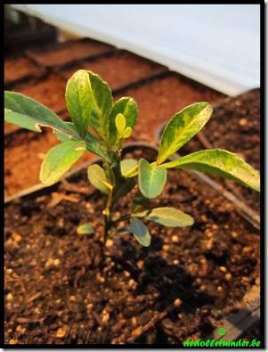 Poncirus Trifoliata < 1j