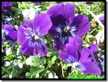 Groot viooltje