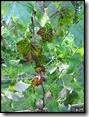 Druiven op snoer