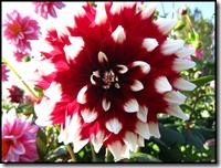 Dahlia rood/wit