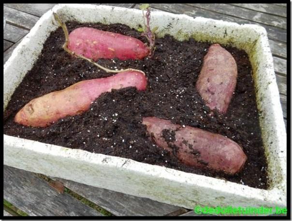Zoete aardappel, paars en roze