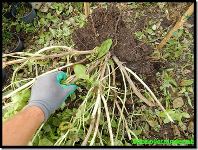 Enorme basilicum planten