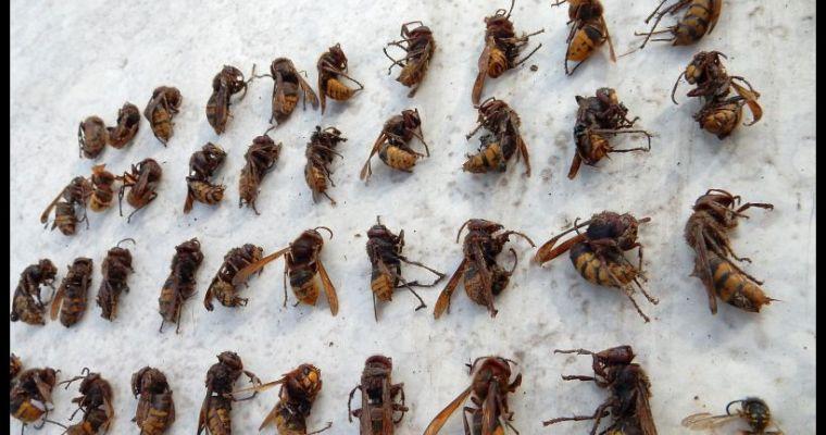 Meer en meer hoornaars te zien
