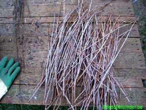 Gesnoeide kers geeft stekken die inkuild worden en in maar uitgeplant op zwarte plastic