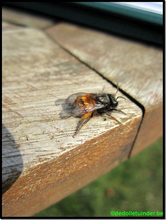 De eerste metselbijen komen naar buiten