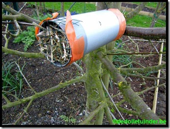 Oorwurmen nest in plastic buis