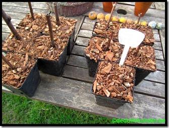 Verplantte stekken