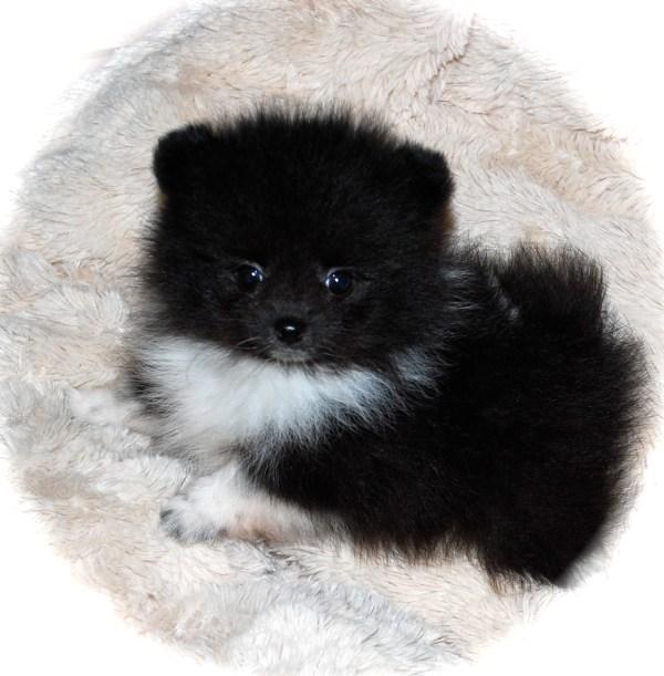 Black Pomeranians Dee Dee39s Pomeranians