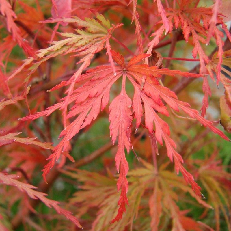 Acer Palmatum Seiryu Deelish Garden Centre