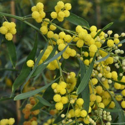 Acacia retinodes 'Lisette'