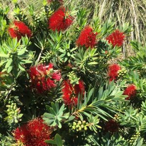 Callistemon viminalis 'Little John'