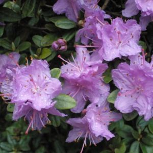 Dwarf Rhododendron Ramapo