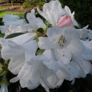 Rhododendron Tinkerbird