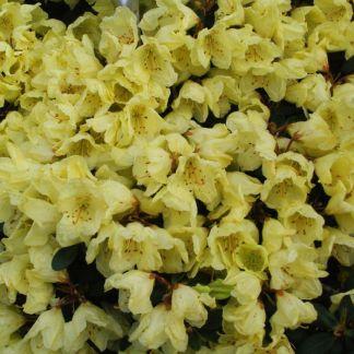 Dwarf Rhododendron Wren
