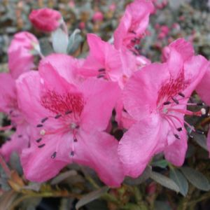Rhododendron calostrotum 'Gigha'