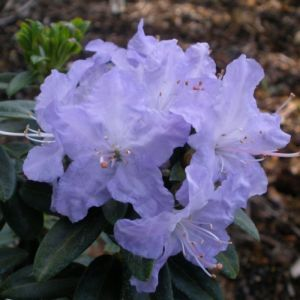 Rhododendron Blue Pool