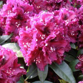 Rhododendron Dramatic Dark