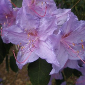 Rhododendron augustinii 'Bowood Blue'
