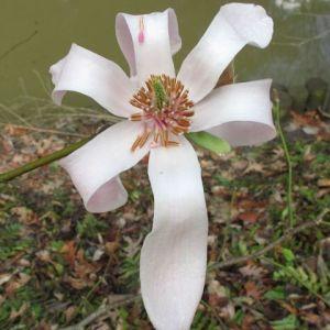 Magnolia biondii