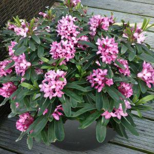 Daphne × transatlantica Pink Fragrance