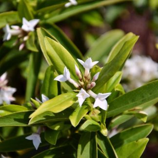 Daphne 'White Queen'