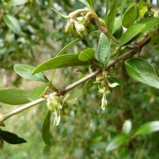 Garrya × thuretii