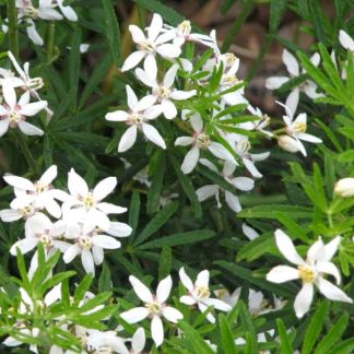 Choisya × dewitteana White Dazzler