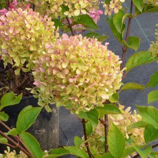 Hydrangea paniculata Romantic Ace