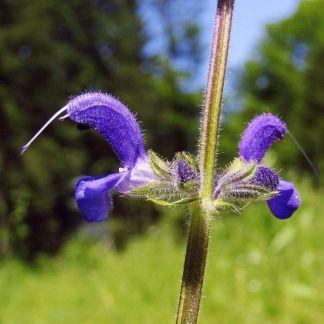 Salvia bertolonii