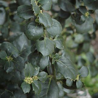 Ilex aquifolium 'Malcolm S. Whipple'