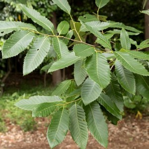 Quercus variabilis