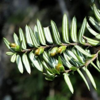 Pseudotaxus chienii
