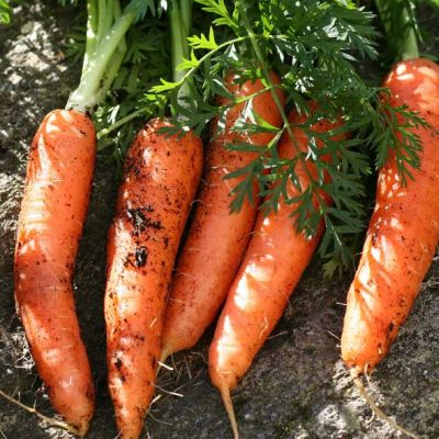 Carrot, Amsterdam Forcing