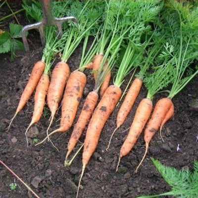 Carrot, Nantes 2