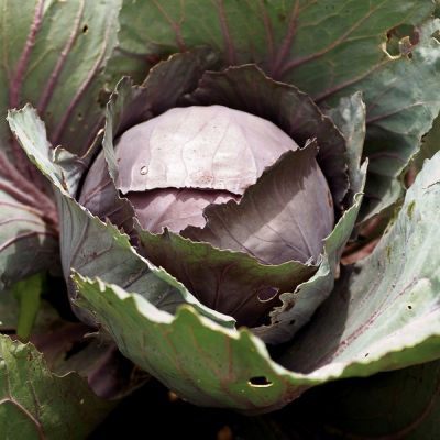 Cabbage, Marner Lagerrot (autumn/winter cabbage)